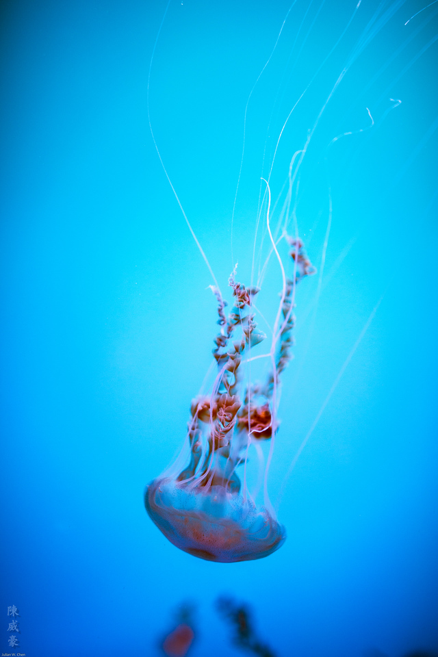 IMAGE: https://julianchen.smugmug.com/Photography/Aquarium-of-the-Pacific/i-GJL7Wn8/0/X2/20151012-Canon%20EOS-1D%20X-1DX_2845-X2.jpg